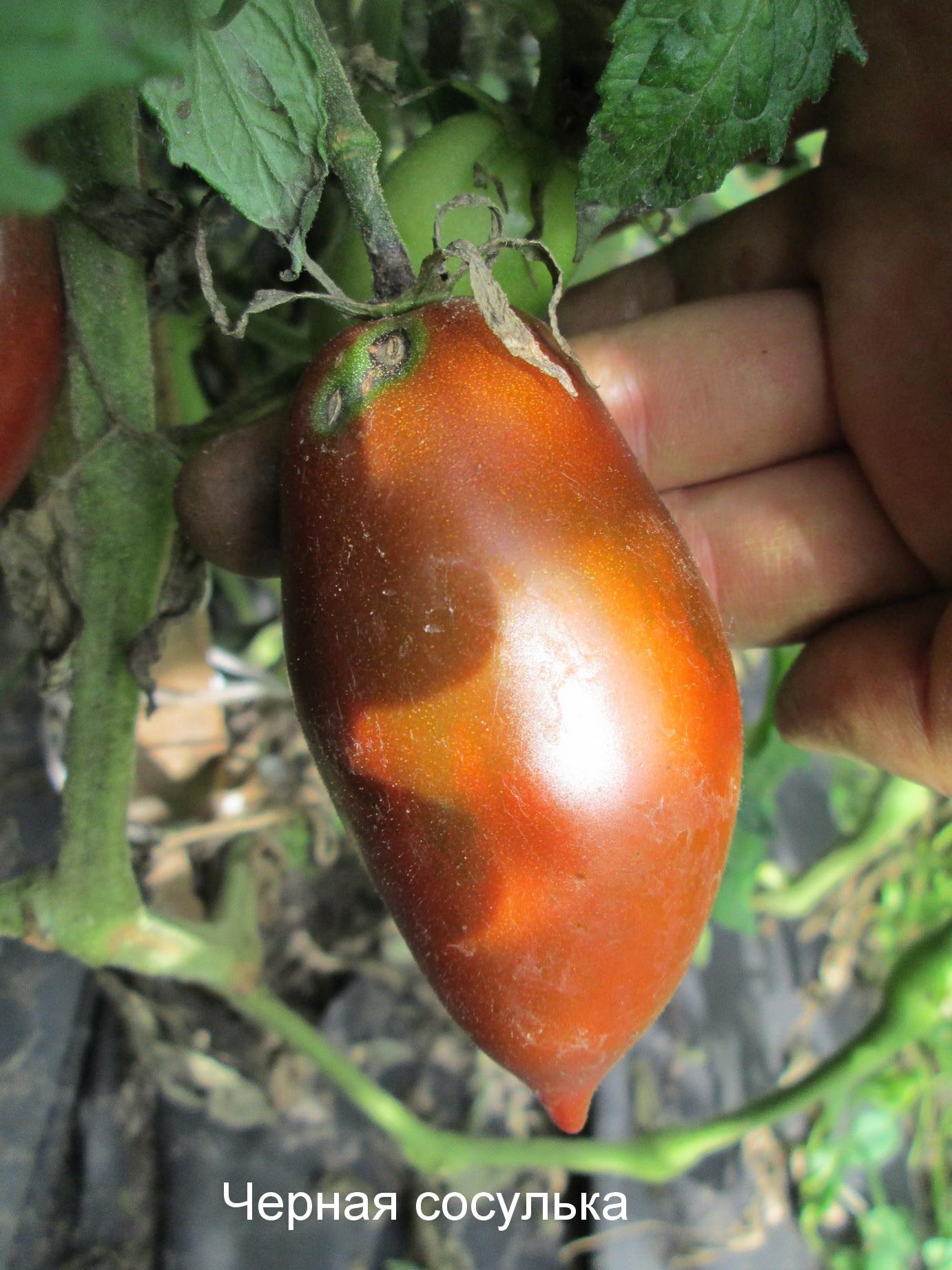 Черные сорта помидоров с фото и описанием для открытого грунта и теплиц, отзывы