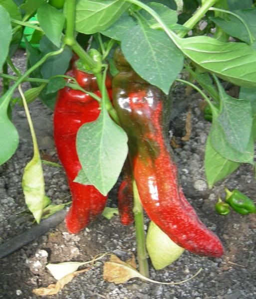 Перец какаду желтый характеристика и описание сорта. эффектный какаду — перец, который хотят вырастить многие