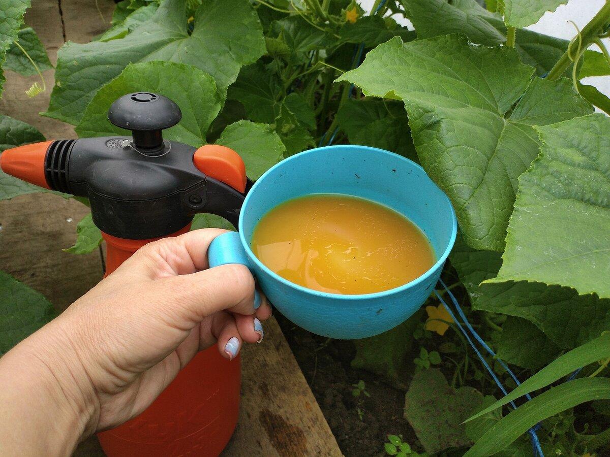 Правила полива тыквы