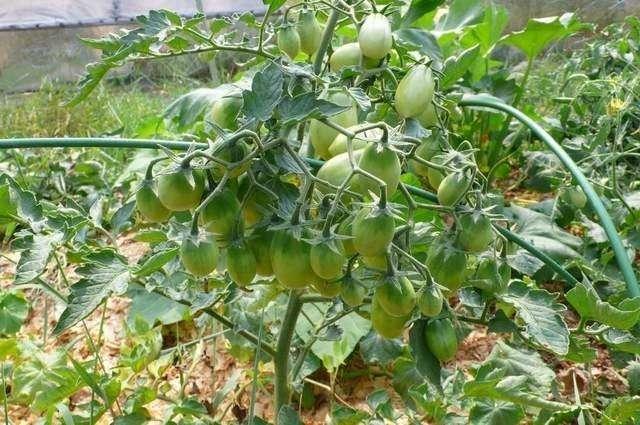 Описание сорта томата Чио-чио сан, особенности выращивания и ухода