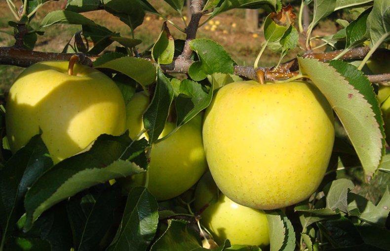 Сорт яблони голден, описание, характеристика и отзывы, а также особенности выращивания данного сорта