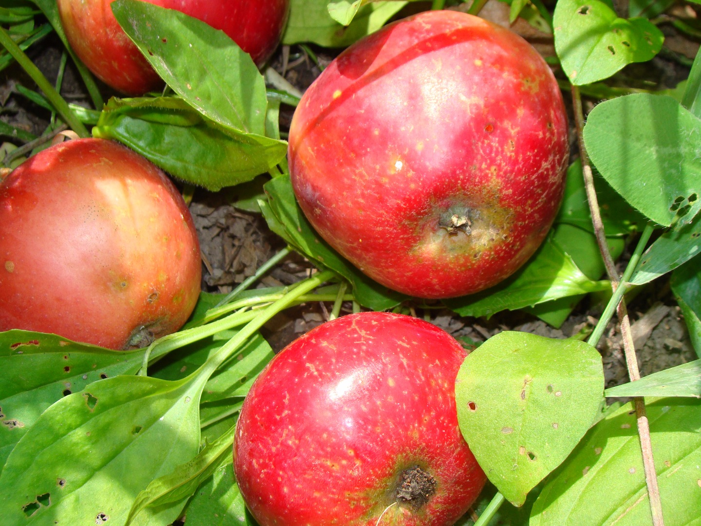 Описание сорта яблони чемпион: фото яблок, важные характеристики, урожайность с дерева