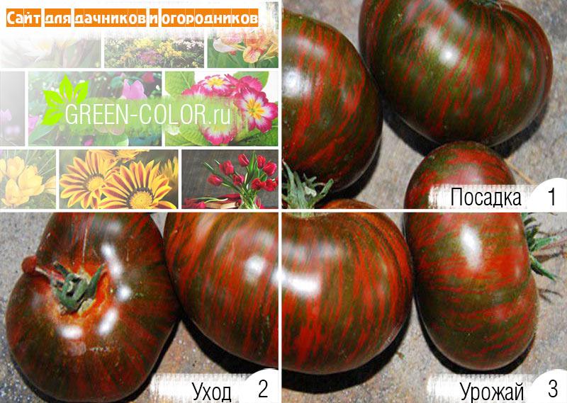 Томат шоколадка: отзывы, фото, урожайность, описание и характеристика | tomatland.ru