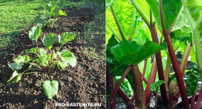 Как вырастить ревень из семян в домашних условиях: советы по посадке и уходу