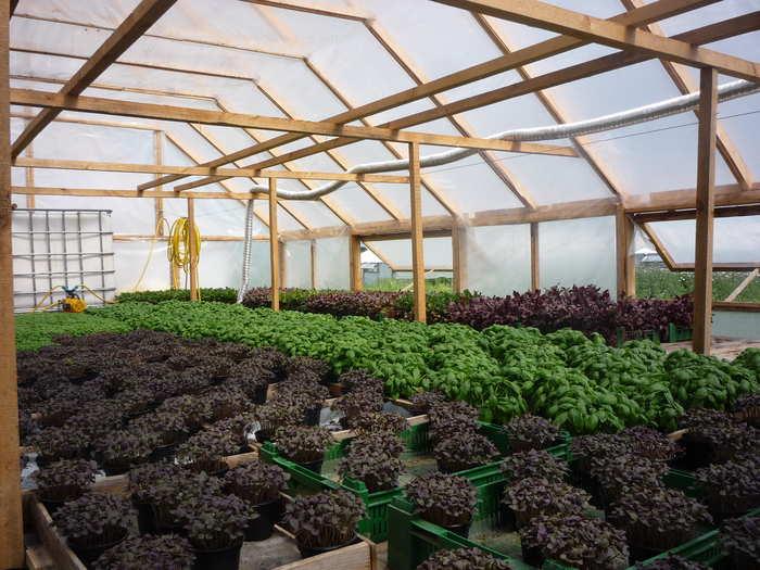 Выращивание базилика в теплице: как, когда и рядом с чем сажать, какие сорта лучше всего подходят, как подготовить конструкцию и осуществить правильный уход? русский фермер