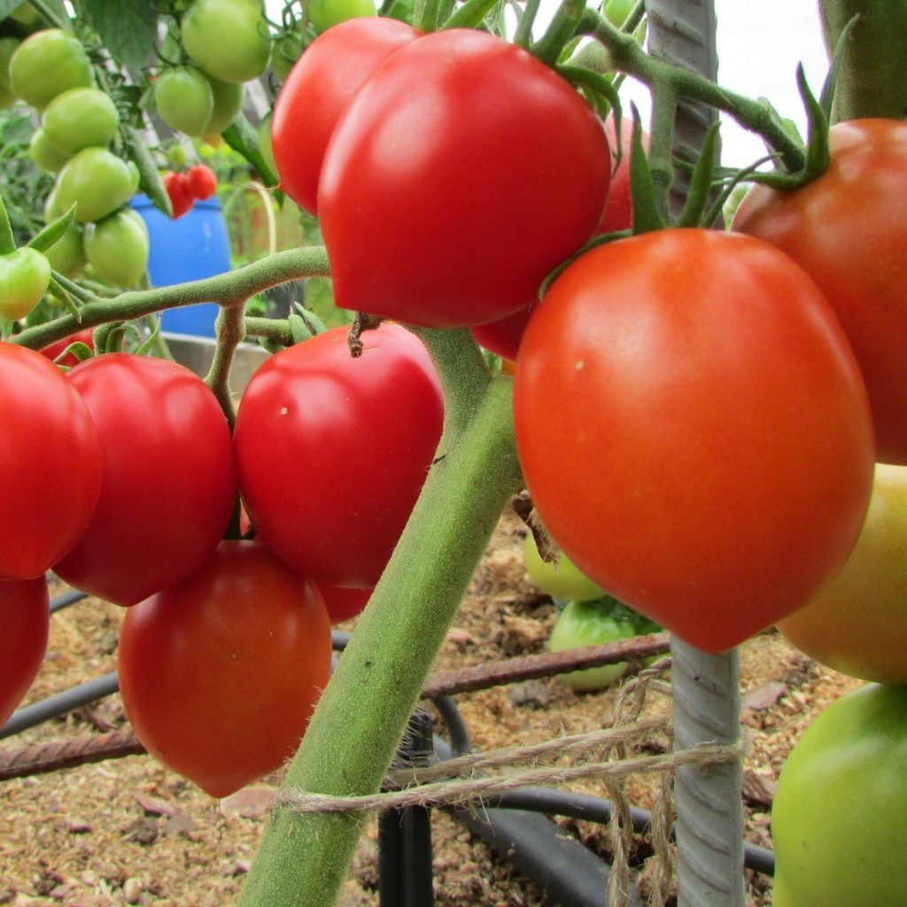 Описание и характеристика сорта помидоров буденовка