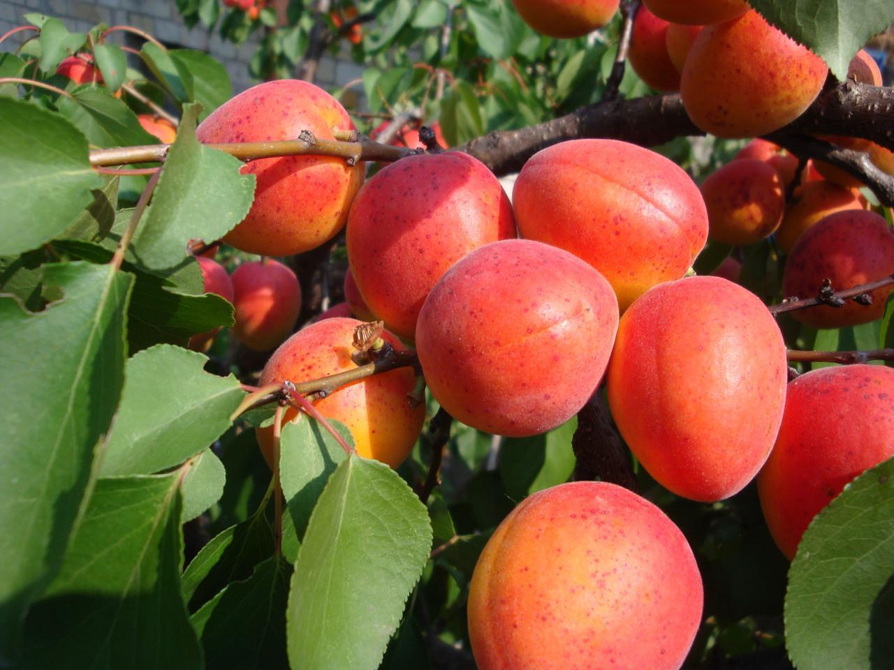 Абрикос саратовский рубин: описание сорта, отзывы, фото дерева