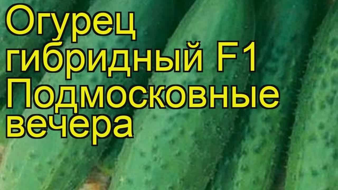 Характеристика огурцов сорта подмосковные вечера f1 и выращивание рассады и уход за кустами