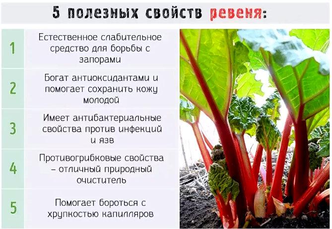 Растение ревень: полезные свойства и его применение