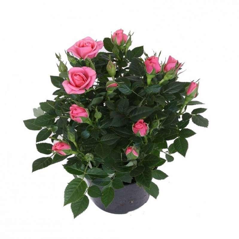 Роза кордана микс: уход в домашних условиях после магазина, адаптация растения