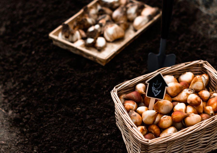 Обработка луковиц тюльпанов перед посадкой - в рассаде