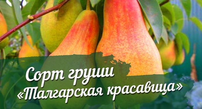 Сорт груши талгарская красавица: описание с фото, посадка и уход, отзывы