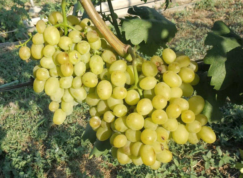 Виноград гарольд: описание сорта с характеристикой и отзывами, особенности посадки и выращивания, фото