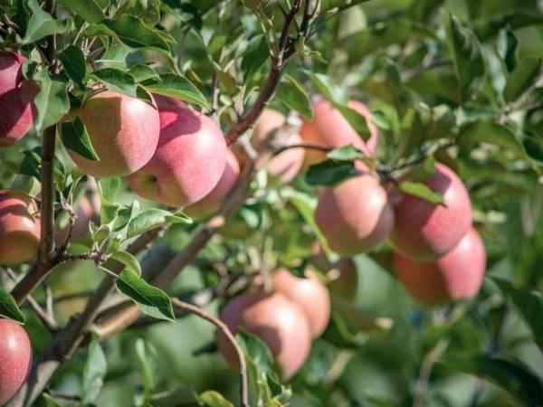 Летняя яблоня аркадик: описание, фото
