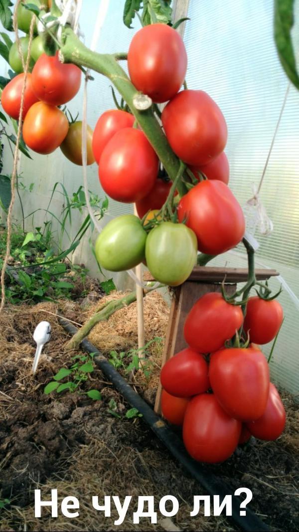 Фото, отзывы, описание, характеристика, урожайность сорта помидора «подсинское чудо».