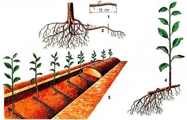 Выращивание сливы: посадка и уход весной. слива: размножение и обрезка