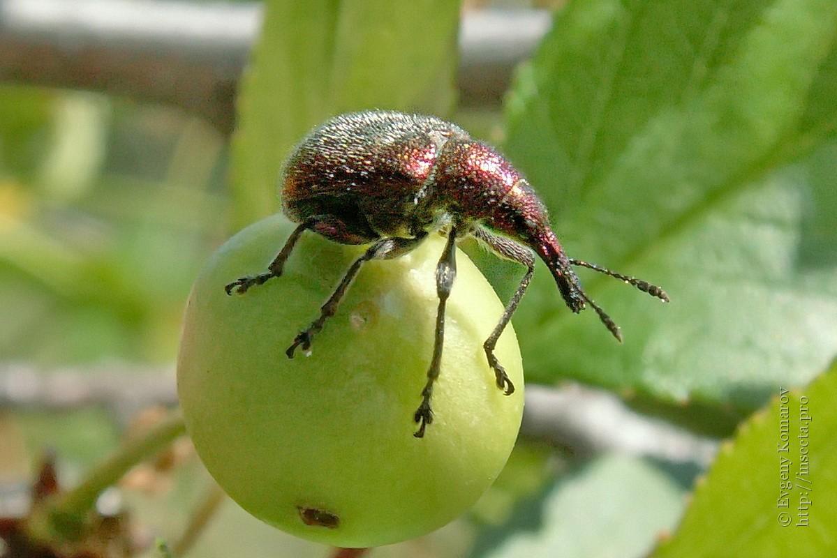 Листовертка на яблоне: топ секреты, как бороться с вредителем?