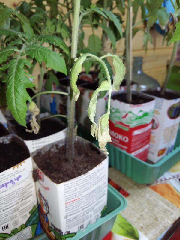 Почему у рассады помидоров скручиваются листья и что делать?