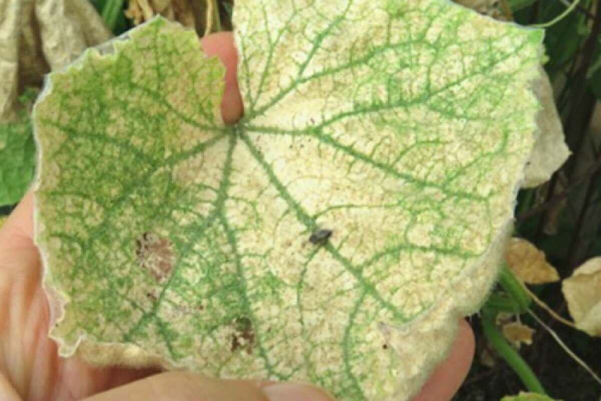 Почему желтеют листья у огурцов: причины и методы решения проблемы