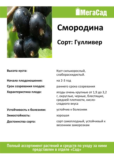 Черная смородина венера: описание сорта, посадка и уход, характеристики и фото selo.guru — интернет портал о сельском хозяйстве