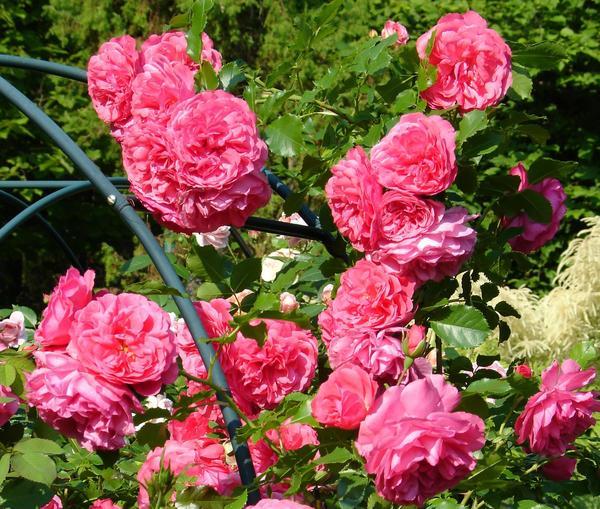 Роза розариум ютерсен: фото и описание плетистого цветка, история возникновения и особенности сорта, пошаговая инструкция по выращиванию, а также болезни и вредителидача эксперт