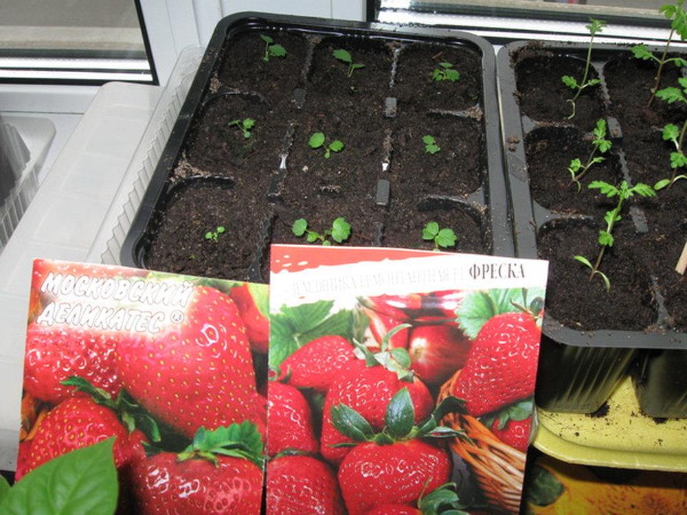 Как вырастить клубнику из семян? полезные советы :: syl.ru