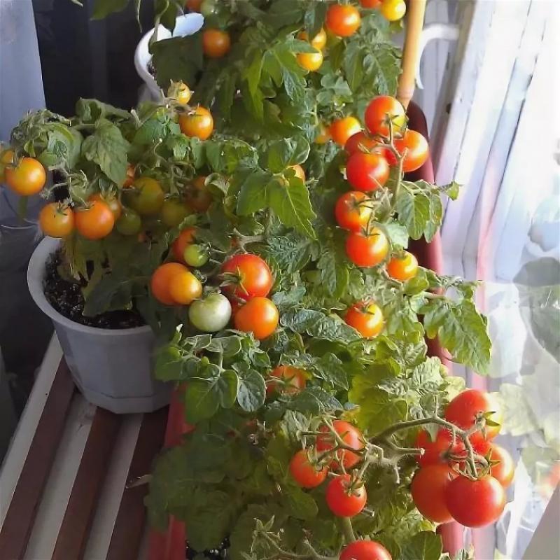 Помидоры балконное чудо - как выращивать дома и в открытом грунте