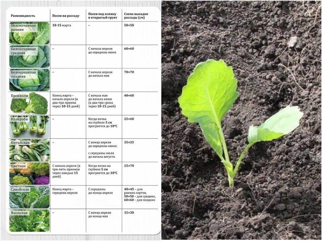 Когда и как сажают цветную капусту на рассаду?