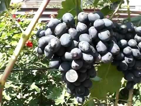 ✅ о винограде забава: описание и характеристики сорта, посадка и уход - tehnomir32.ru