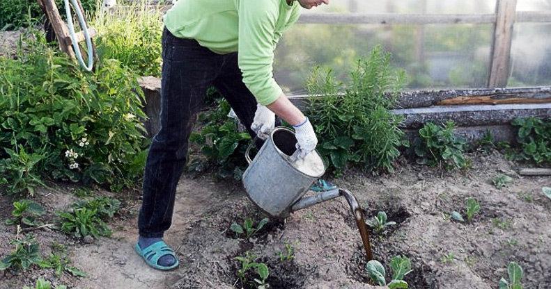 Как часто поливают капусту и какой водой, чтоб получить урожай