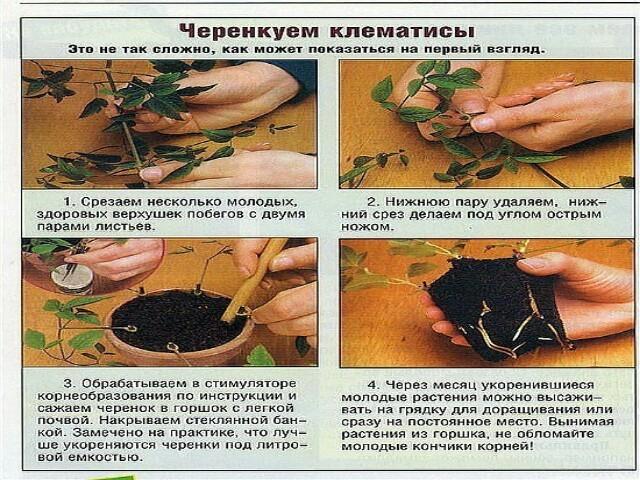 Как вырастить из семян клематисы в домашних условиях?
