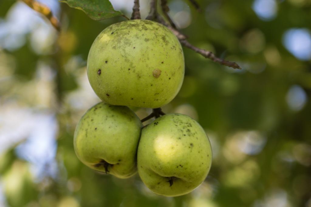 Описание сорта яблони толунай: фото яблок, важные характеристики, урожайность с дерева