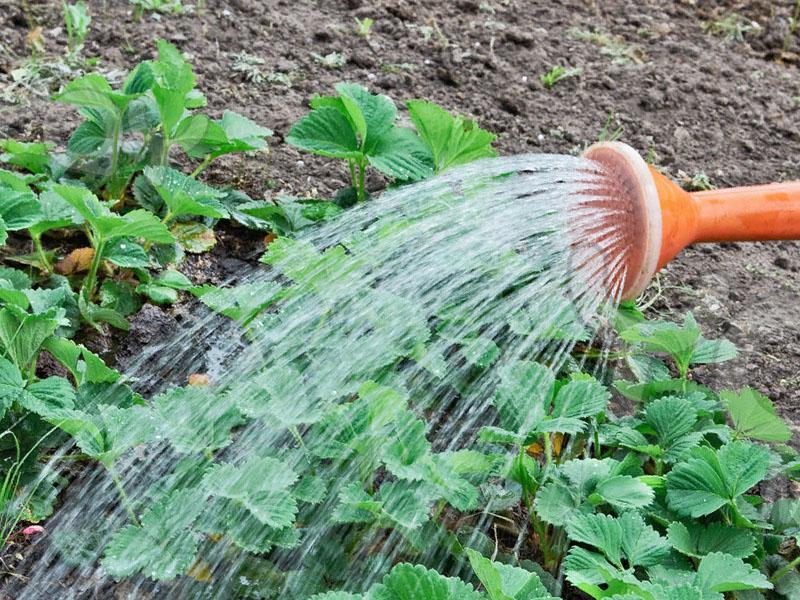 Как часто поливать арбузы в открытом грунте - особенности выращивания арбузов своими руками