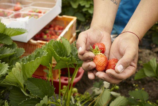 Клубника кент: описание и характеристика сорта, выращивание, посадка и уход