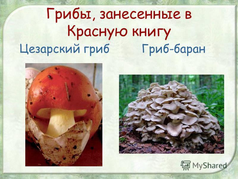 Царский гриб, мухомор цезаря, цезарский или яичный гриб (amanita caesarea): фото, описание и как его готовить