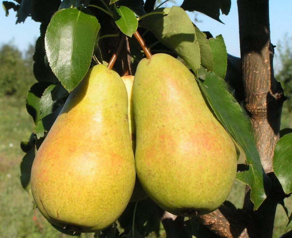 Сильнорослый сорт груши родом из франции — бере боск