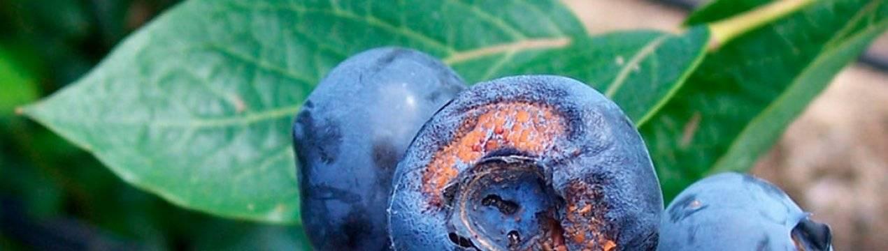 Вредители и болезни голубики часть 2 грибные болезни  |  аппяпм