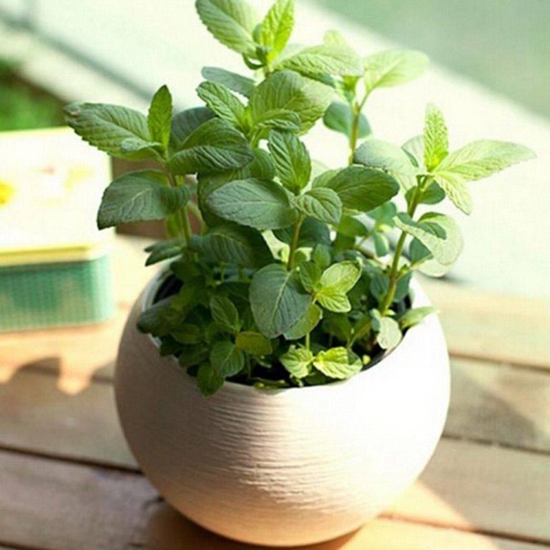Как вырастить мяту в домашних условиях из семян
