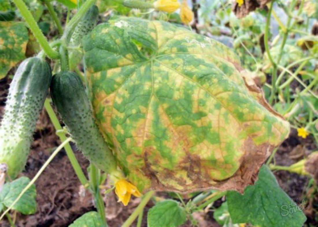 Почему желтеют листья у огурцов в теплице > зародыши и завязи: видео + фото
