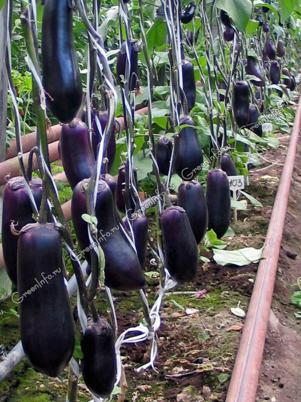Особенности выращивания баклажанов в теплице > видео + фото
