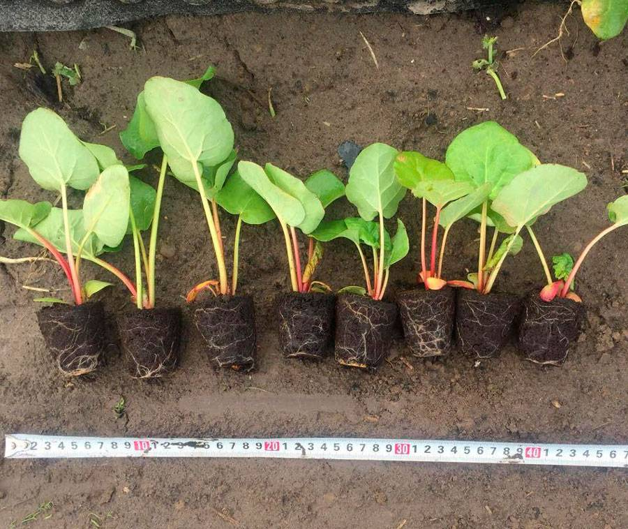 Как вырастить ревень из семян