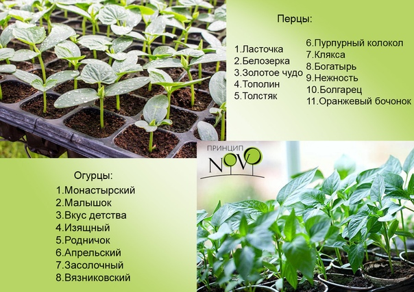 Болгарский перец - выращивание и уход в открытом грунте. особенности ухода, посадки и выращивания