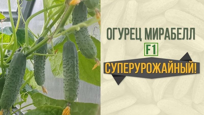 Огурцы муму f1: отзывы и фотографии, описание сорта, выращивание и уход, устойчивость к болезням и вредителям