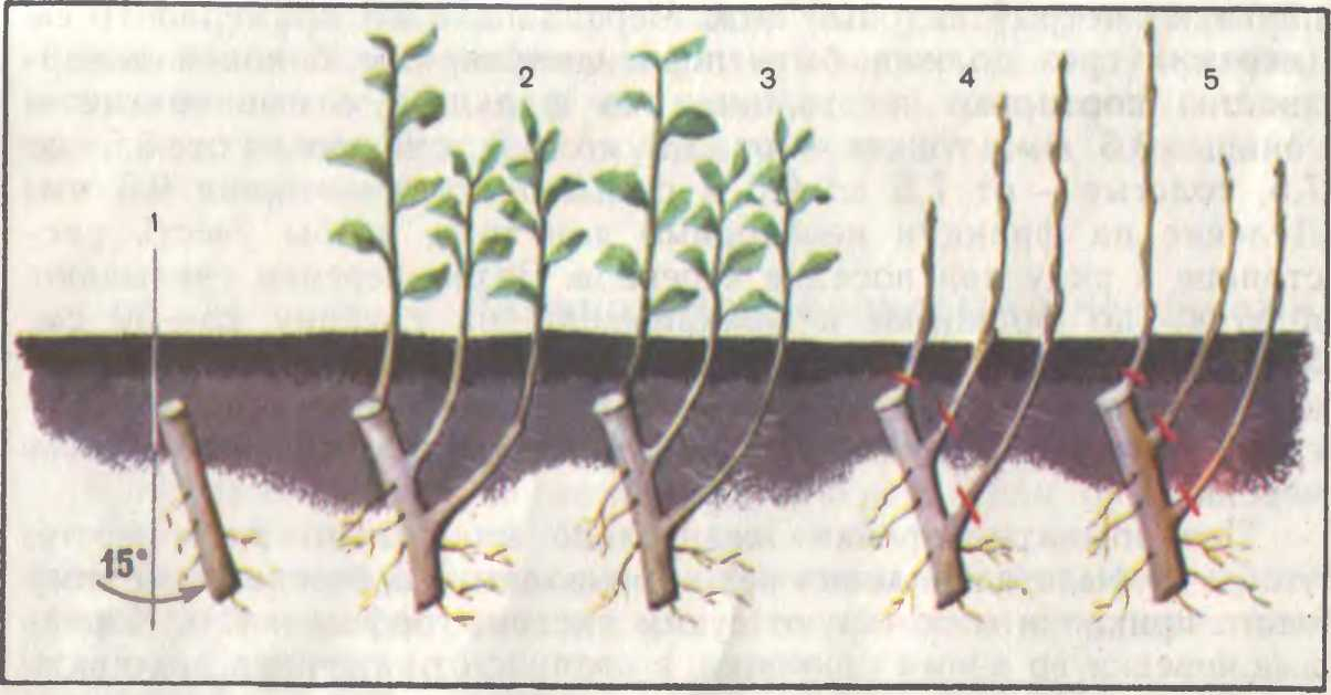 Размножение сливы корневой порослью, укоренение черенков весной и летом