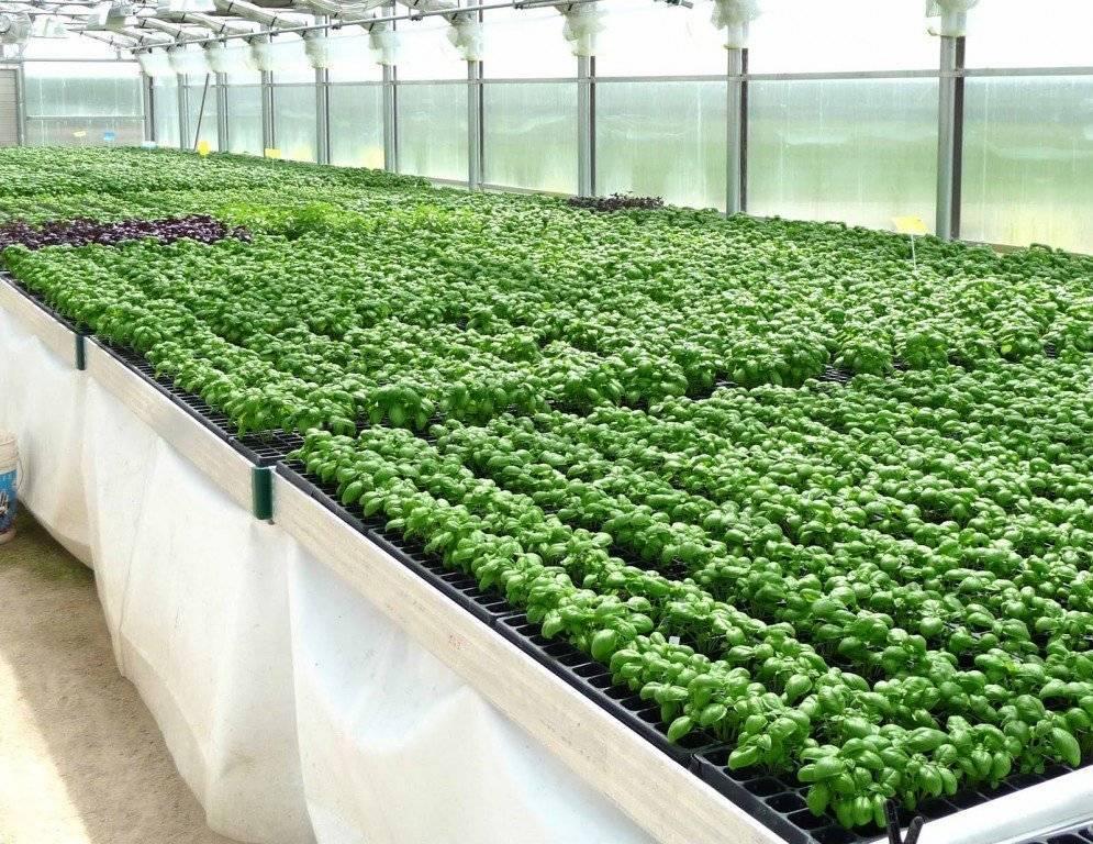Выращивание кинзы в теплице зимой: как подготовить теплицу и грунт? русский фермер