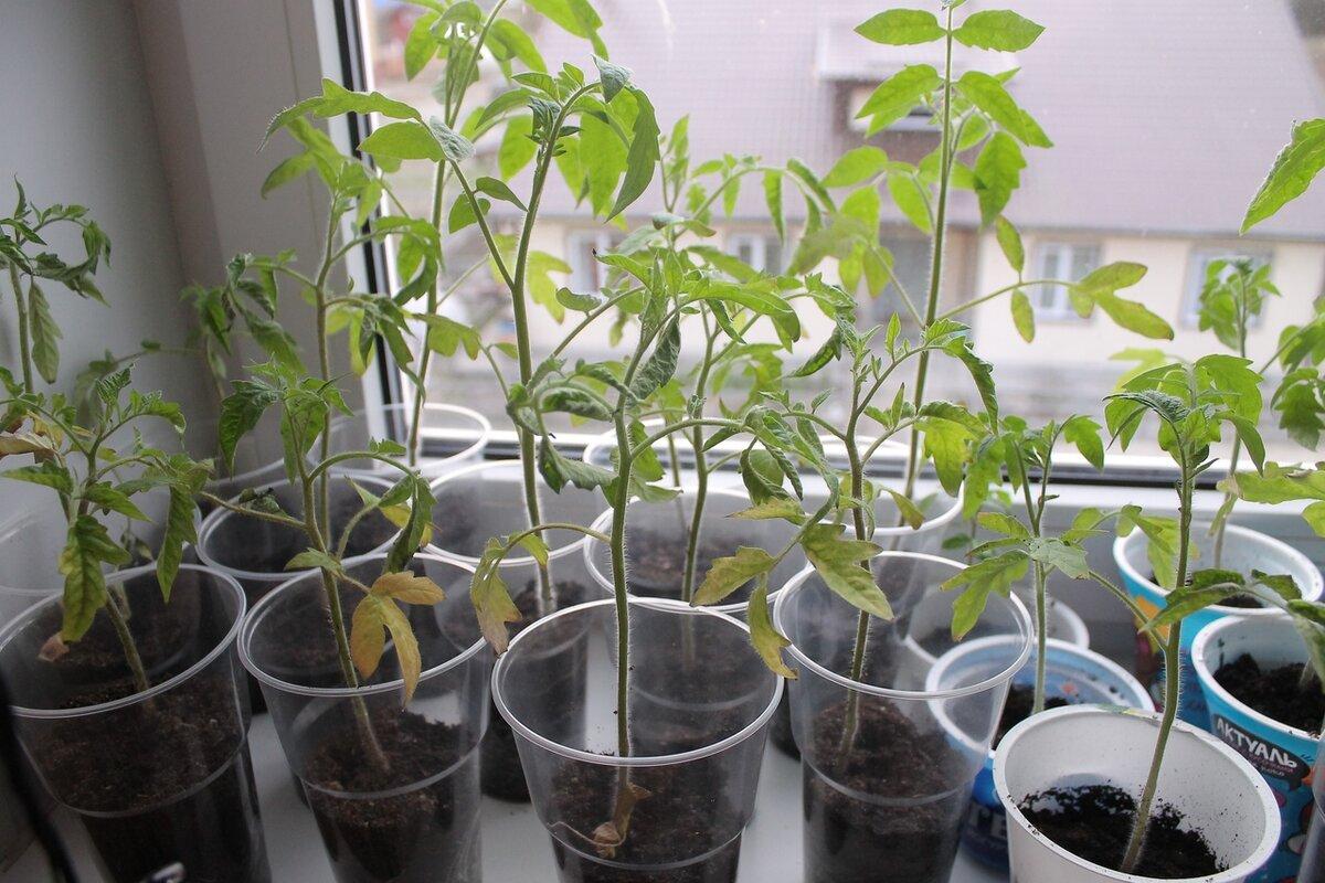 Рецепты выращивания помидоров после пикировки, возможные проблемы и пути их решения