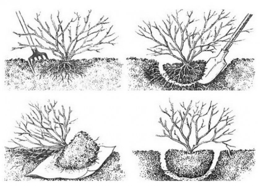 Пошаговая инструкция и сроки, когда можно пересаживать смородину