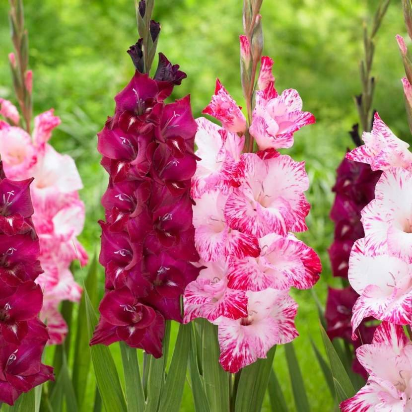 Гладиолусы (90 фото): как выглядят луковицы шпажника? как его размножить? цветы, похожие на гладиолус, красивые композиции в саду