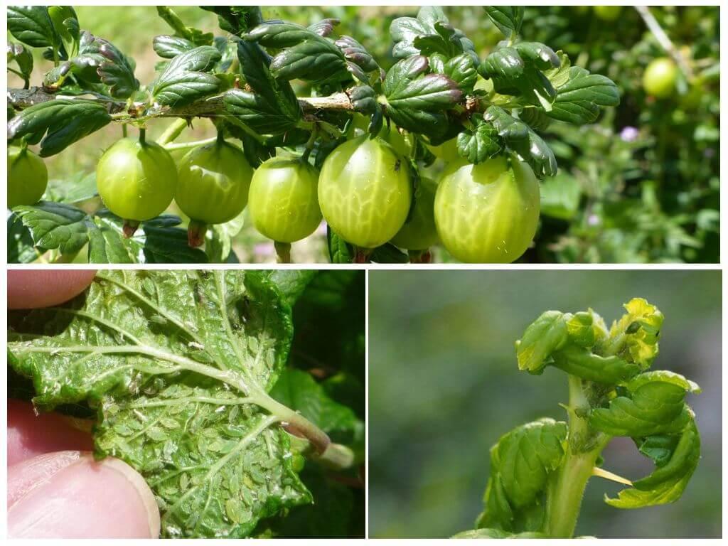 Обработка крыжовника, в том числе весной, чем опрыскать куст от лишайника и других вредителей