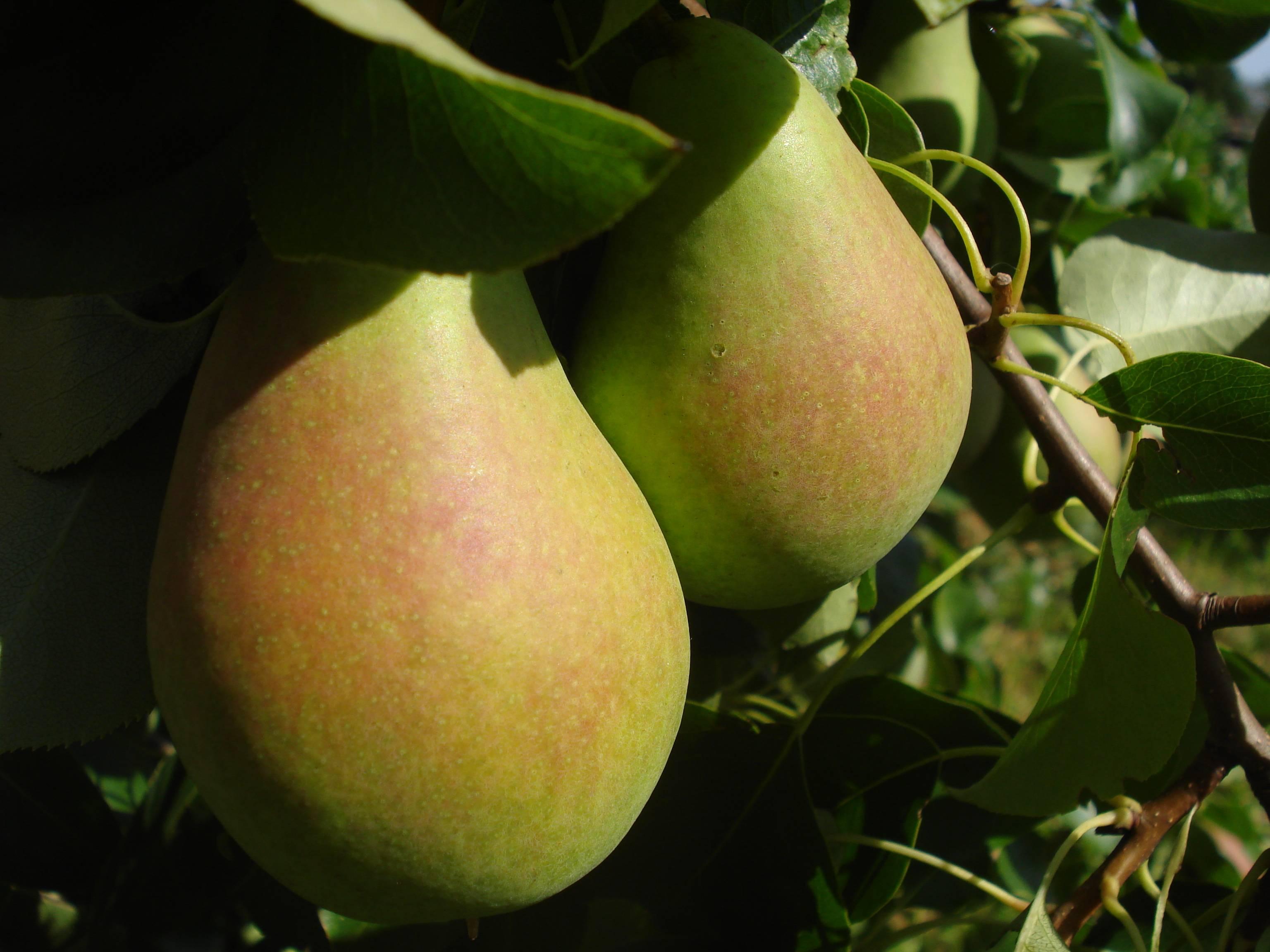Прекрасный ранний сорт — груша «мраморная»